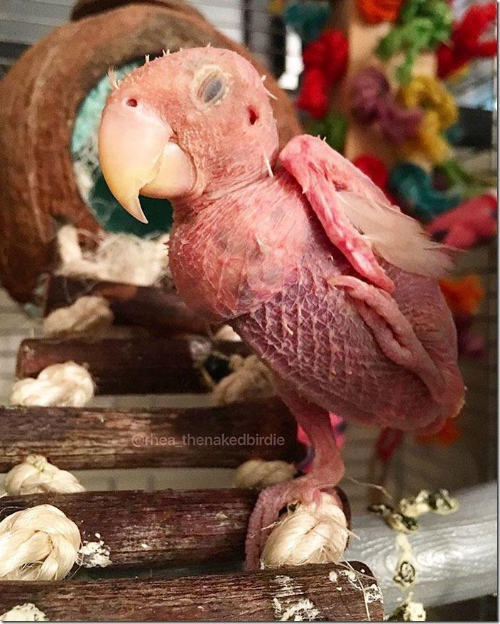 featherless-lovebird-boston-29