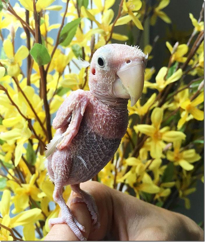 featherless-lovebird-boston-7