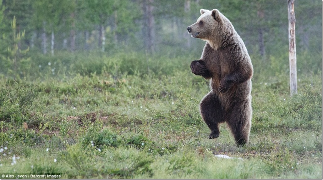 392FF42B00000578-0-A_European_brown_bear_dances_like_nobody_is_watching_in_the_fore-m-107_1475839884360