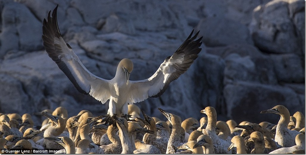 392FF44B00000578-3827052-Preach_to_the_choir_A_cape_gannet_bird_is_photographed_appearing-m-113_1475841863703