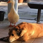duck-saves-dog-depression-george-10.jpg