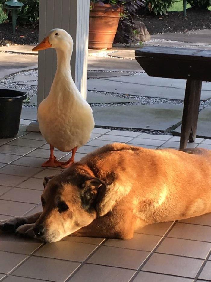 親友の死で失意の2年間を送る犬。アヒルとの友情で元気を取り戻す姿が感動的