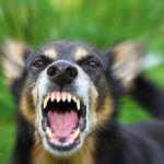 Barking enraged shepherd dog outdoors