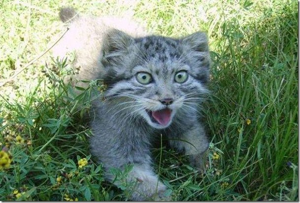 russian-farmer-wild-cat-kittens-manul-4