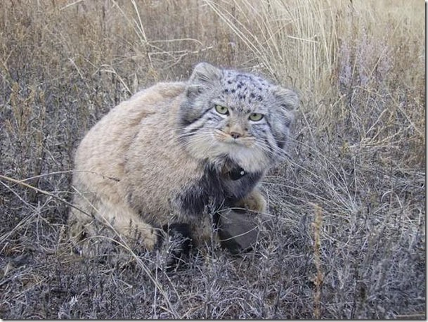 russian-farmer-wild-cat-kittens-manul-6