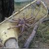 【画像】規格外に巨大なアシダカグモがオーストラリアで見つかる。これ蜘蛛というよりカニだろ…